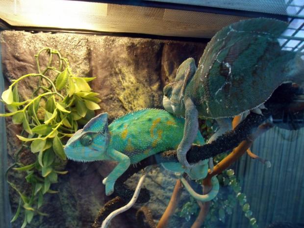 Террариумы для хамелеонов своими руками